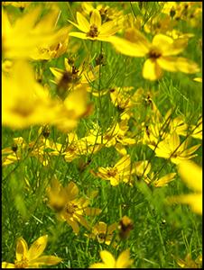 Wiese mit vielen gelben Blumen