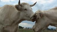 Cattle1_c_bathysphere_productions