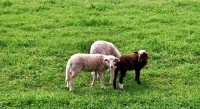 black-sheep-by-heide-fuhlendorf