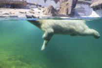 ours blanc nage PDZ