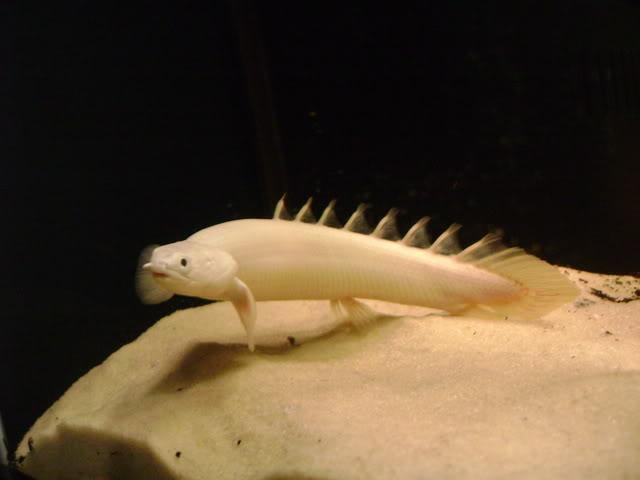 ENDLICHERI-BICHIR-Polypterus-2