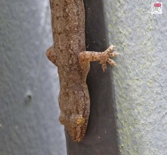 Brown's Flapped Legged Gecko