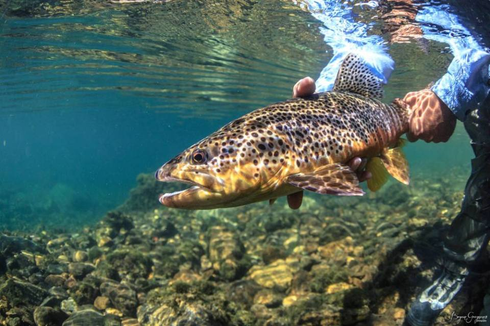 Argentina_Brown Trout_underwater_Bryan Gregson_Yellow Dog Flyfishing