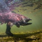 Chinook Salmon _Bryan Gregson_Alaska_Egdorf_Nushagak