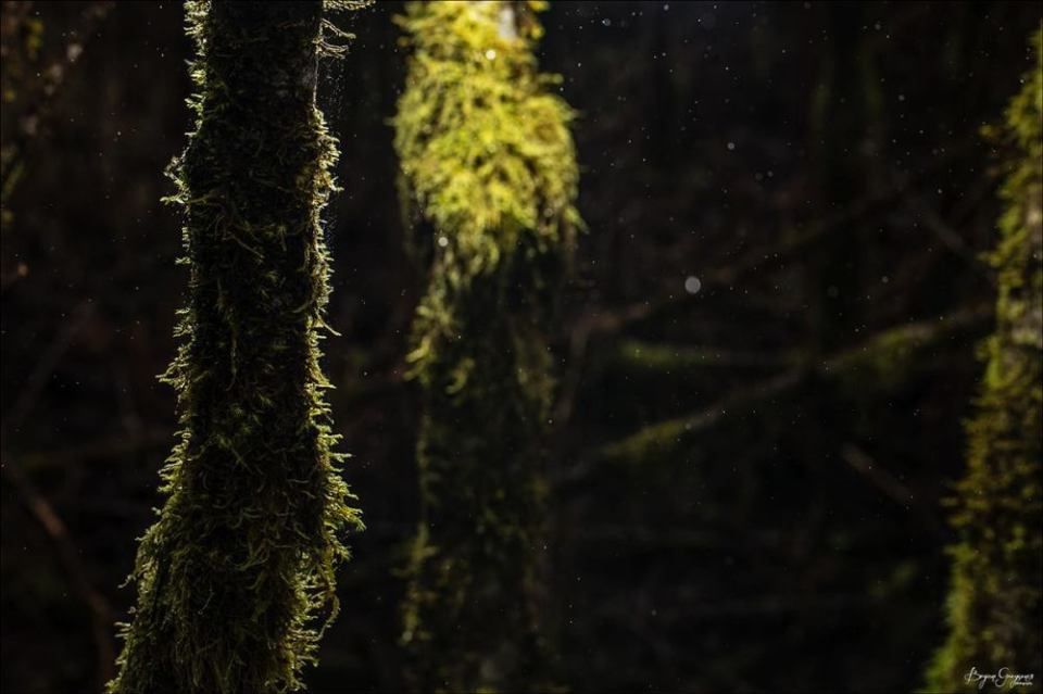 Mossy Tree,_Olympic Peninsula_Washington_Bryan Gregson
