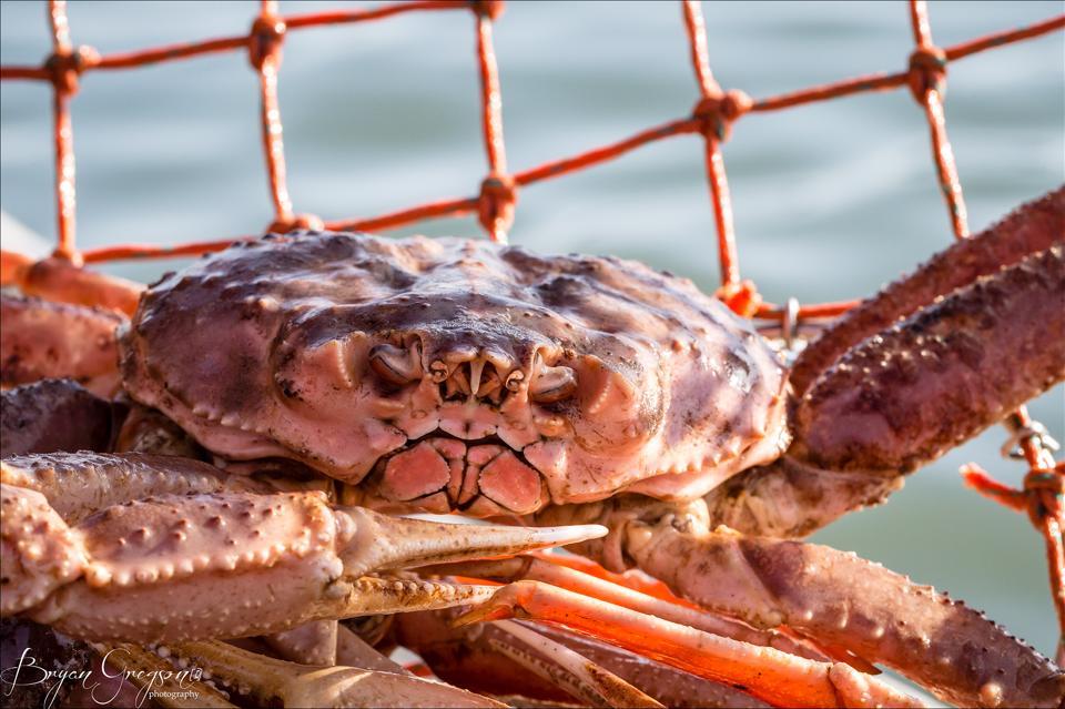 Tanner Crab_Southeast Alaska_Bryan Gregson