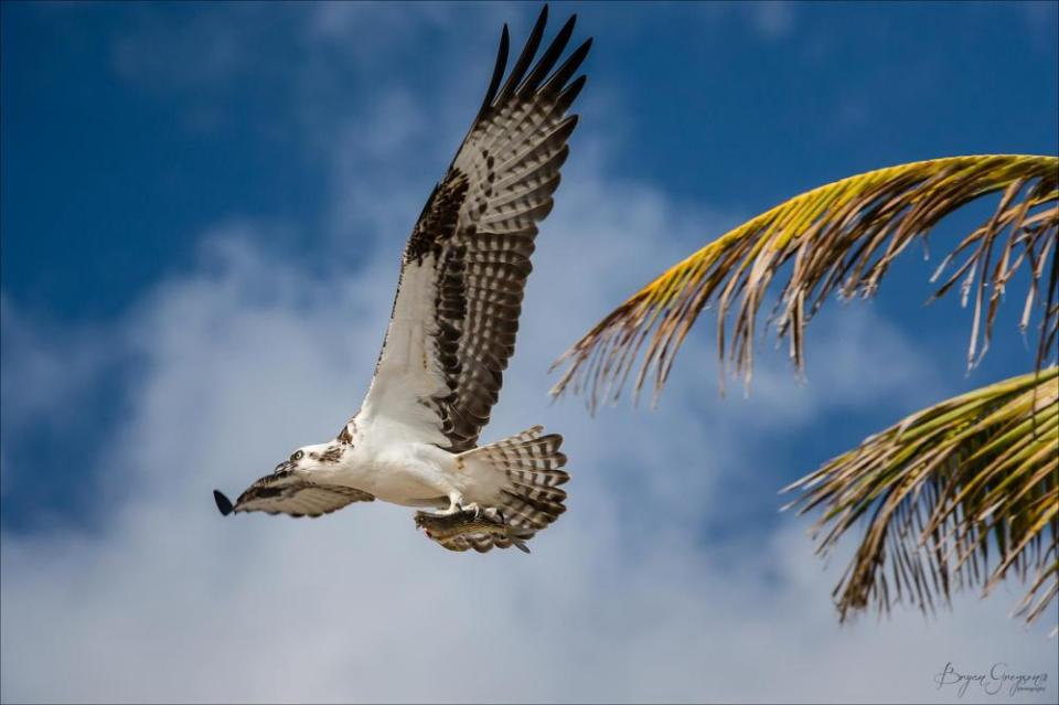 Yucatan Osprey_Bryan Gregson_Casa Blanca Playa Blanca