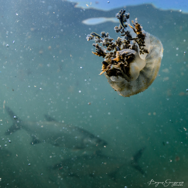 Bryan Gregson Photography_jellyfish-1