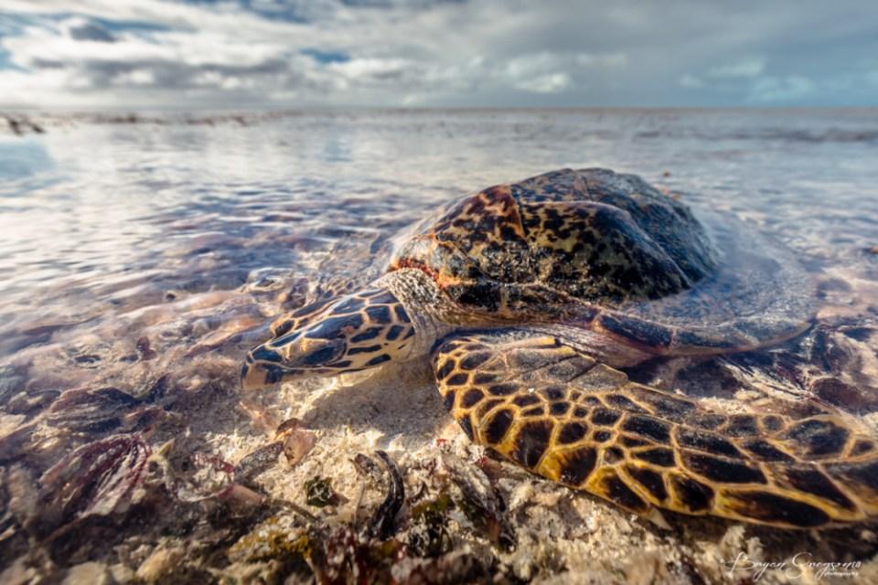 Gregson_turtle_StBrandons-002