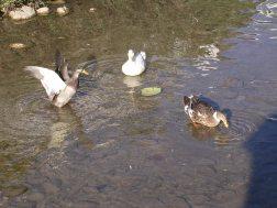 Ducks enjoying their own fiesta