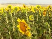 June sunflowers