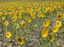 Sunflower Army