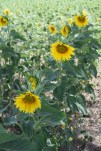 Flowers 37
