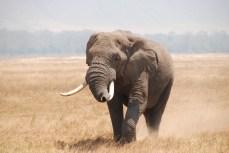 African Elephant in Ngorongoro Crater