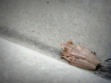 """Frog on my porch, Colombia, from """"Never Catch Wild Animals"""""""