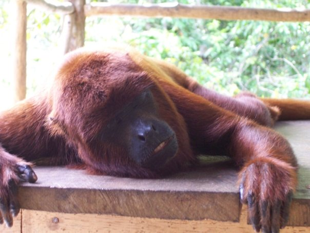 Howler Monkey - Sleeping soundly!