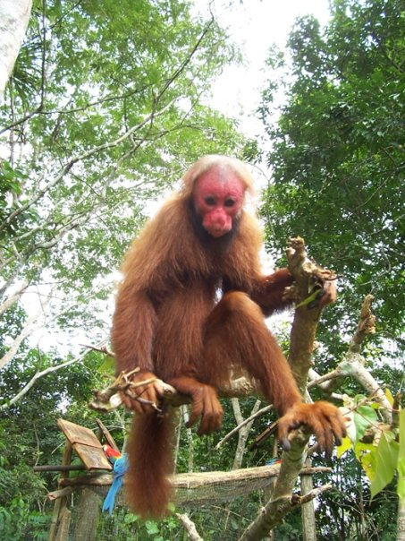 The rare Uacaryi Monkey - A Thrill for me!