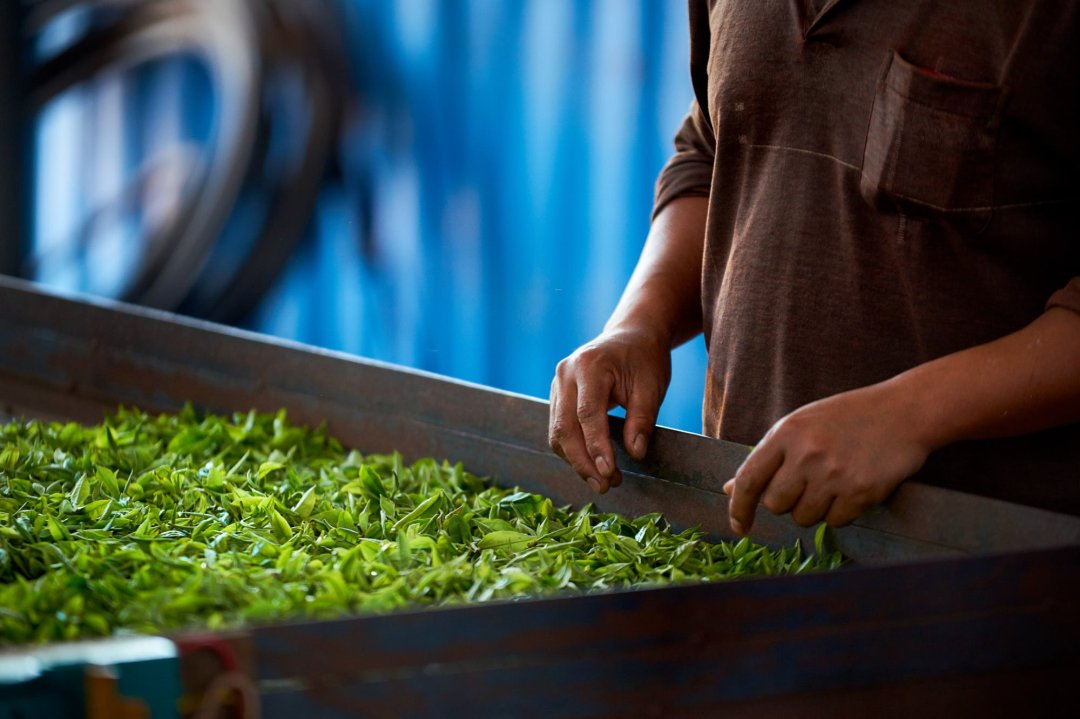 photo of freshly picked tea drying on a table at a farm in Yunnan, China
