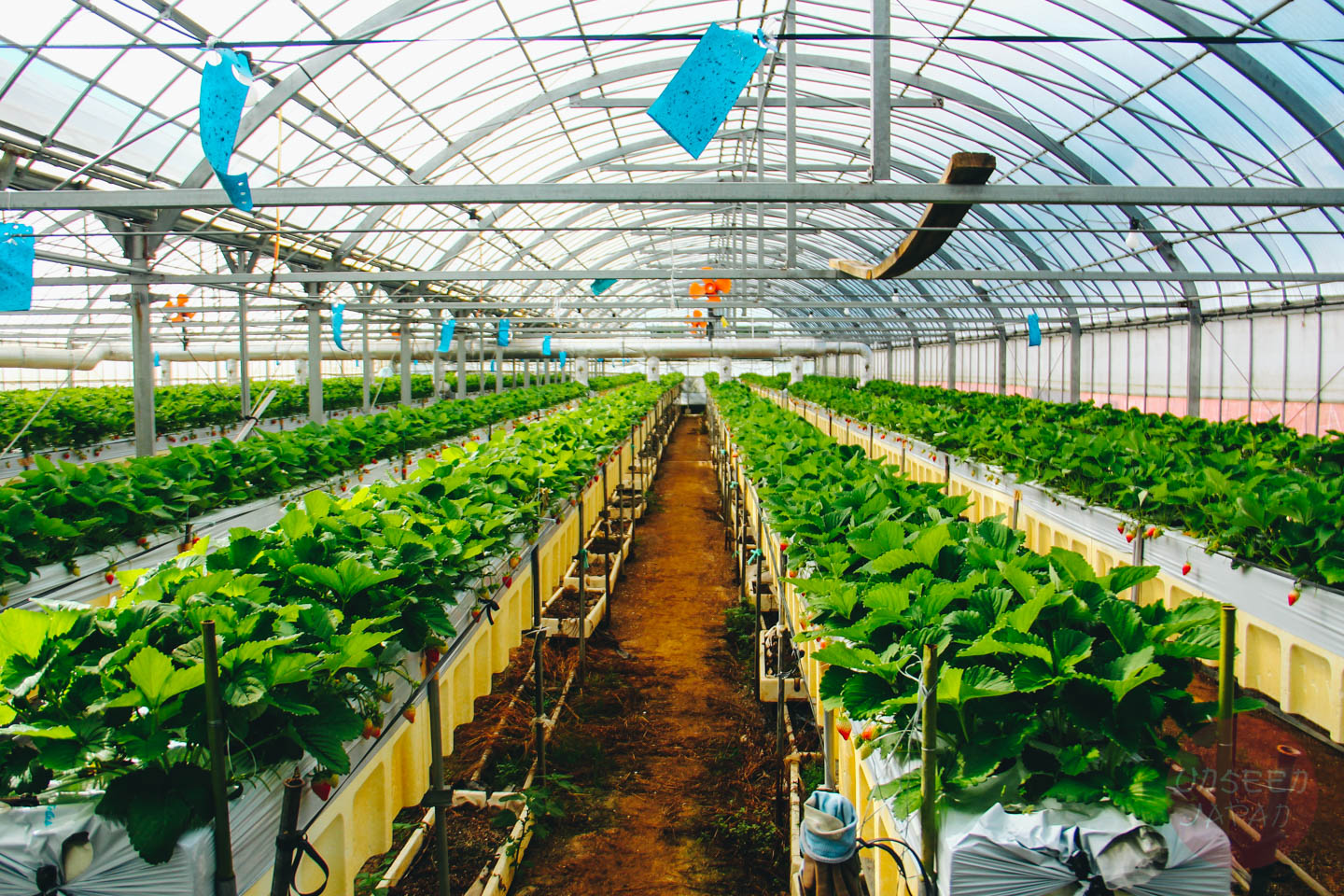 tokushima-strawberry-farm-in-greenhouse