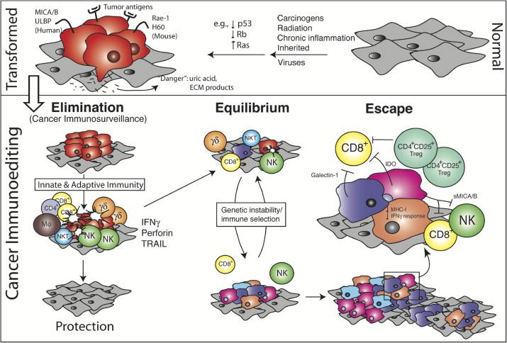 immunoediting