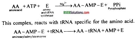 Bihar Board Class 12 Biology Solutions Chapter 6 Molecular Basis of Inheritance 10