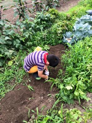 芋を掘る息子n