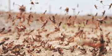 Locust-hit Pak may consider importing insecticides from India: Report