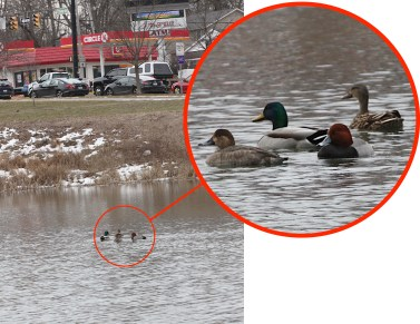 revised lupe cropped-2021-02-24-ducks-IMG_5982