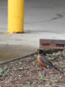 Healthy American robin (Turdus migratorius) outside the Indiana University Poplars parking garage on 6th Street. (June 30, 2021)