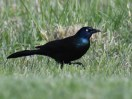 Healthy common grackle (Quiscalus quiscula). Photo by Nancy Lightfoot.