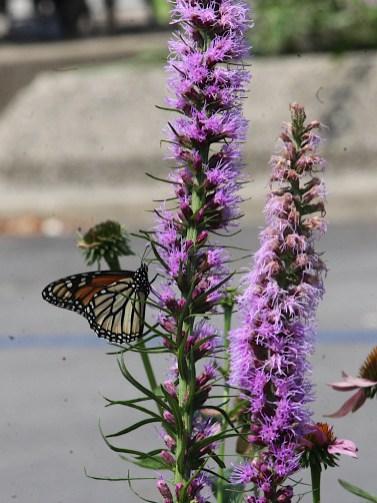 2021-07-18 butterflies IMG_4551