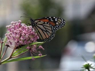2021-07-18 butterflies IMG_4566