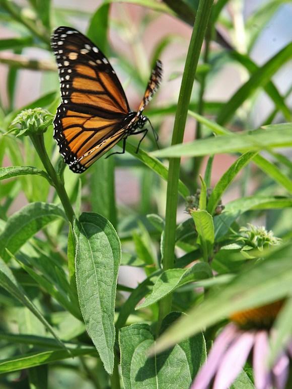 2021-07-18 butterflies IMG_4632