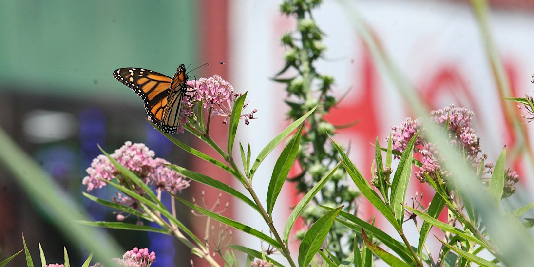 2021-07-18 butterflies IMG_4662