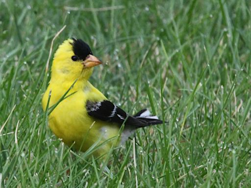 B Square file photo of a healthy goldfinch taken on the Monroe County courthouse grounds (July 2021).