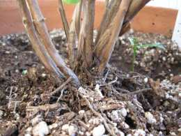 roots of basil plant