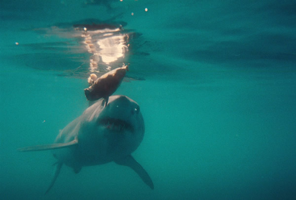 A nice Mako comes to the boat