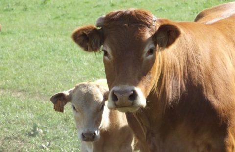 The Cow and the Calf, the Broker and His Stocks