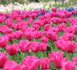 Tulip Mania and Why It Has Nothing To Do With Bitcoin