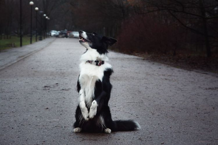 wigilia bez psa - border collie w mieście - bthegreat.pl