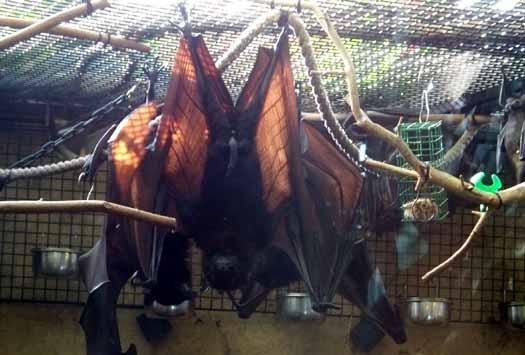 Calgary Zoo - Giant Fruit Bat