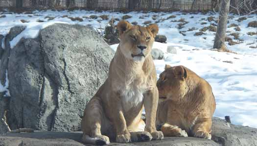 Calgary Zoo - Lions in the Snow
