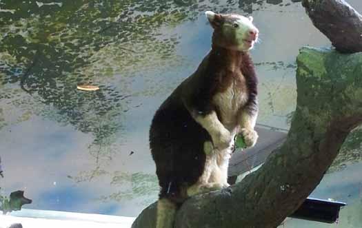 Calgary Zoo - Tree Kangaroo