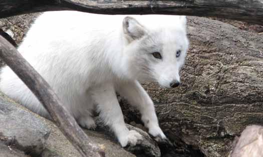 Valley Zoo - Arctic Fox