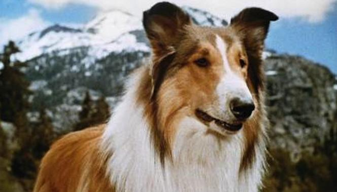 Image result for lassie