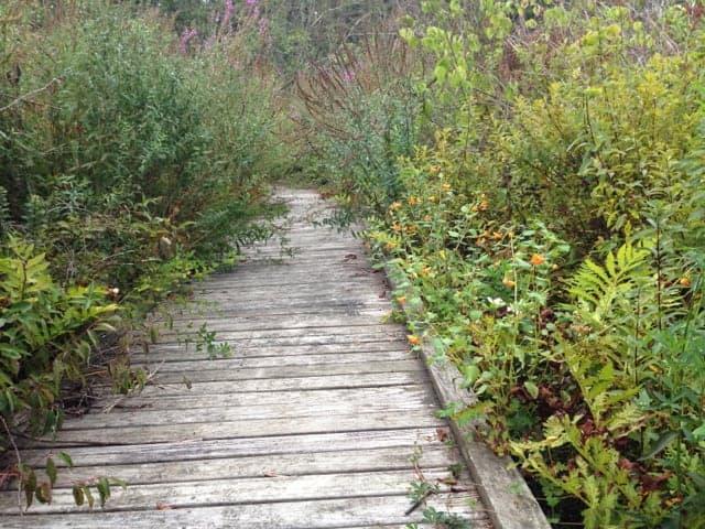 The trail follows an overgrown boardwalk toward the pond.