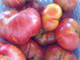 Heirloom tomatoes range in size and color. Photo by Kate Abbott