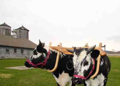 Oxen take a break at Hancock Shaker Village. Photo by Susan Geller