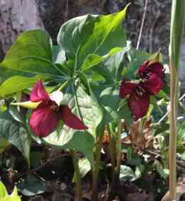Red trillium or wake robin blooms. Photo by Kate Abbott