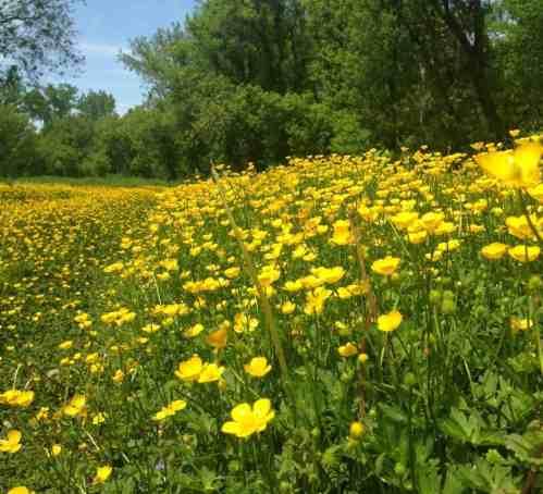 'Ten thousand ... at a glance' — buttercups fill the Upper Linear trail. Photo by Kate Abbott